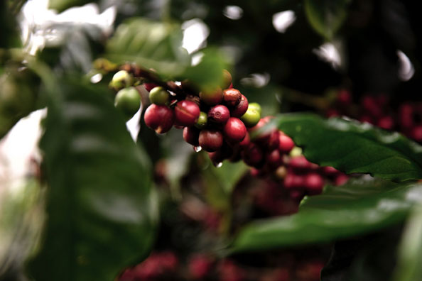 Green-Coffee---Nicoya,-Cost